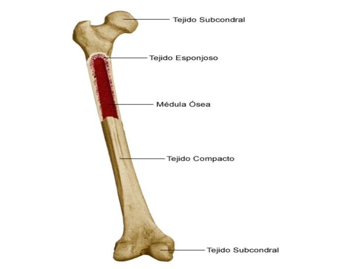 tejido fisura ósea